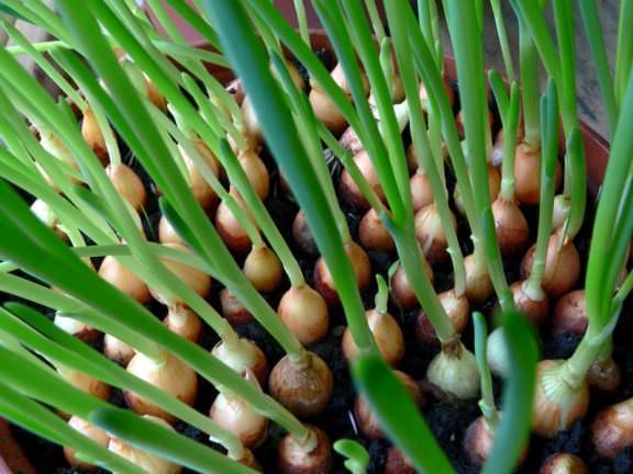 выращивание лука репки из семян