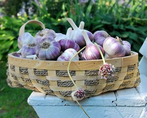 агротехника выращивания чеснока
