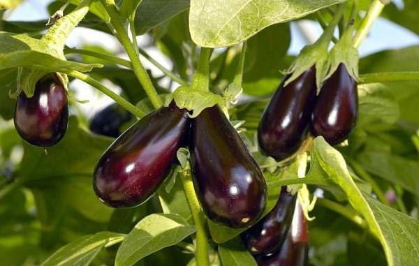 секреты выращивания баклажанов