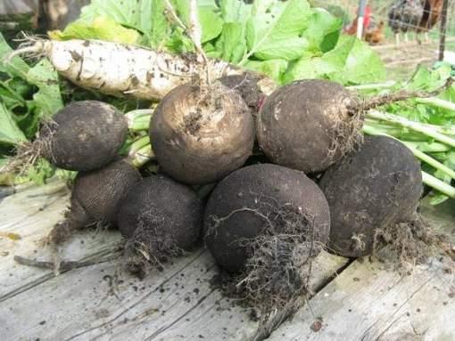 выращивание редьки в открытом грунте