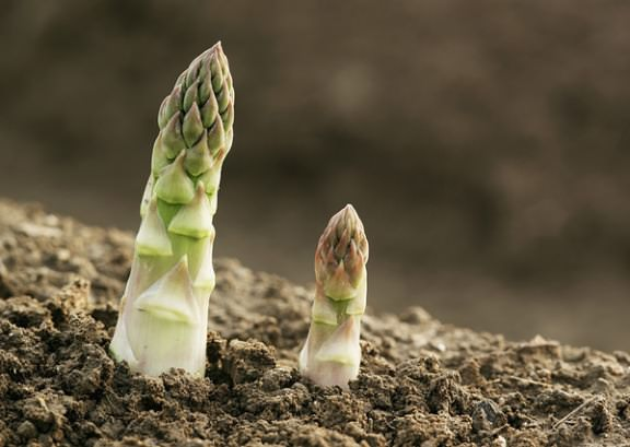 выращивание спаржи в домашних условиях