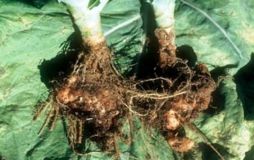 болезни капусты кила
