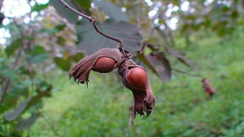 выращивание фундука