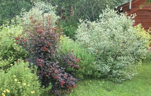 садовые кустарники
