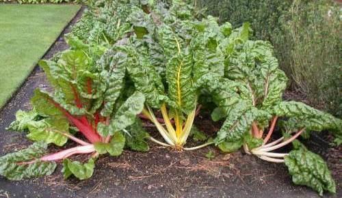 мангольд выращивание