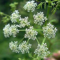 тмин растение