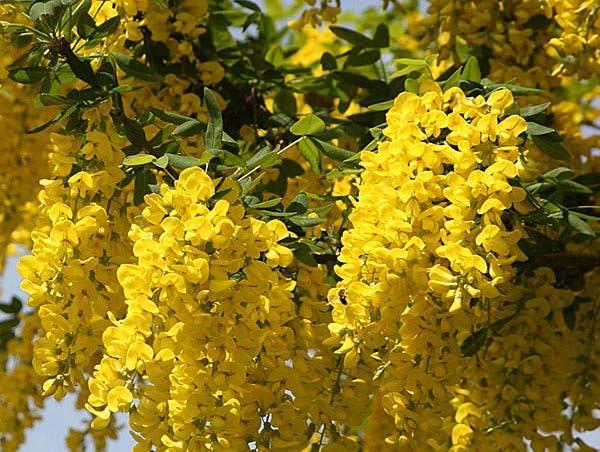 цветение бобовника садового