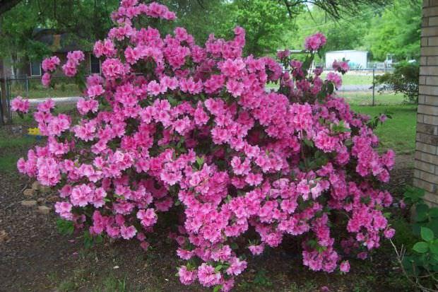 Азалия многолетняя садовая выращивание и уход фото 40