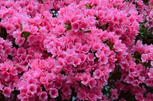 Азалия фото цветов садовая