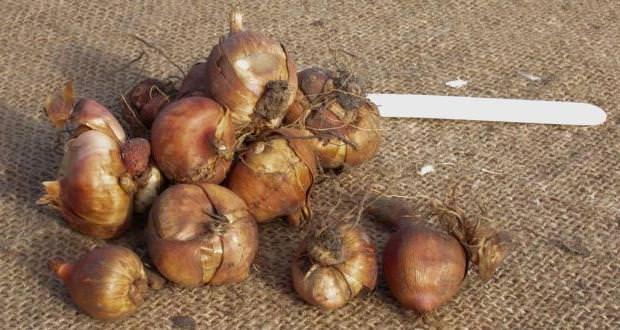 как подготовить луковицы гладиолуса к зиме