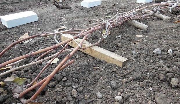 как укрыть виноград на зиму