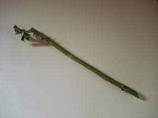 выращивание розы из черенка