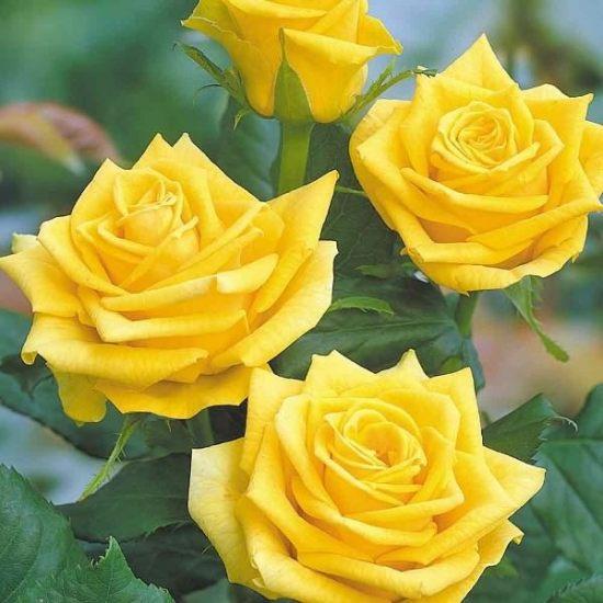 жёлтые цветы