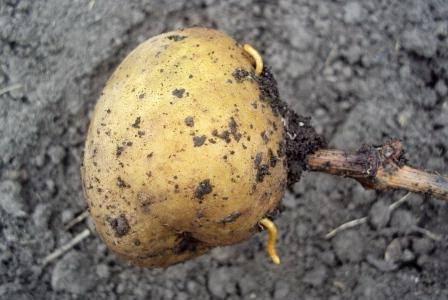 картофель на палочке