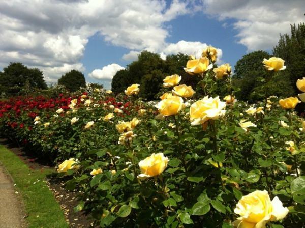 самые неприхотливые фото розы сорта