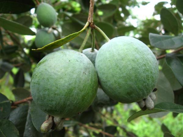 зелёные плоды