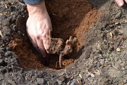 посадка растения в глинистую почву