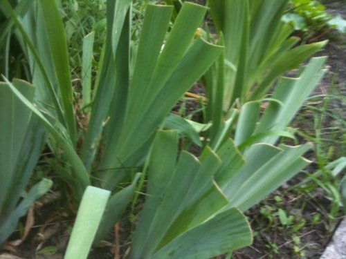 8 листьев с восковым налётом