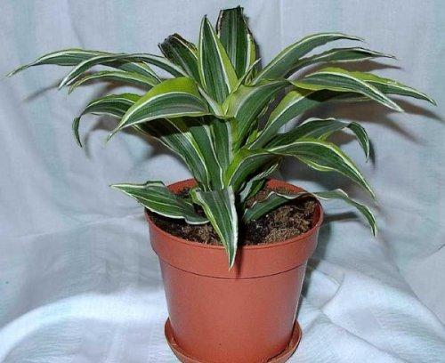 растение полезное для любой комнаты