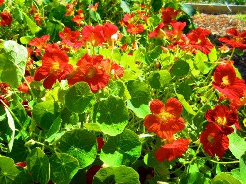 красные цветки настурции на клумбе