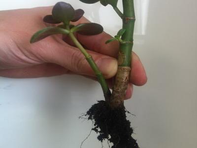 комнатное растение в руке