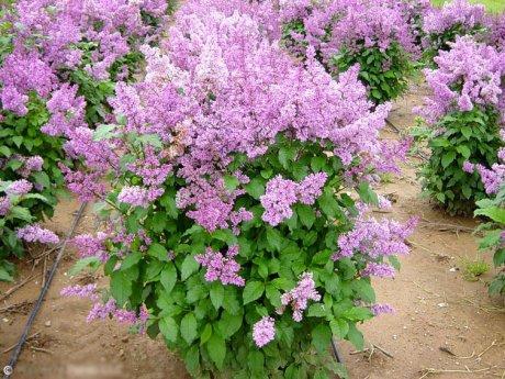 цветущие кусты с сиреневыми цветами