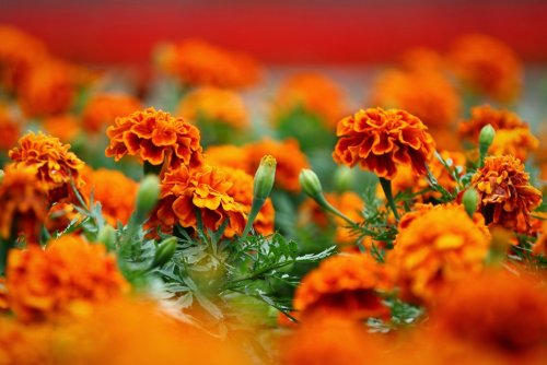 цветущие буйно бархатцы