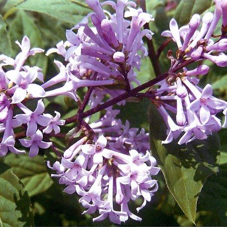 цветение венгерской сирени