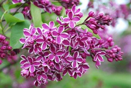 сиреневые цветки с розовой окантовкой
