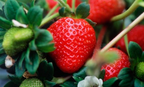 спелая красная ягода