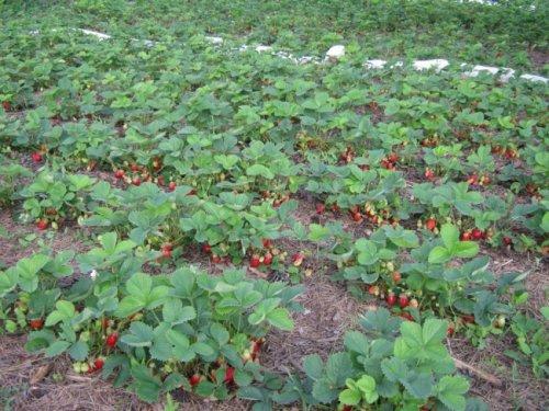 схема высадки садовой земляники