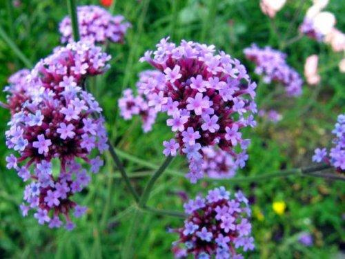 цветущее многолетнее растение