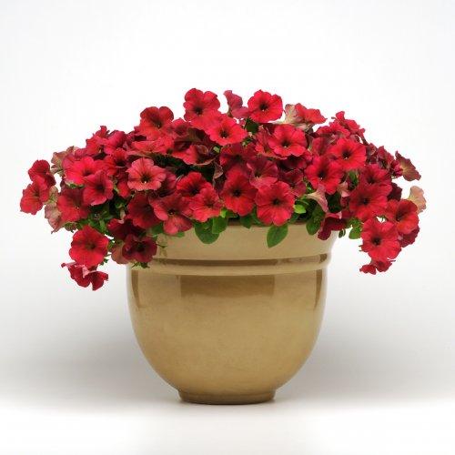 комнатные цветы красного цвета в горшке