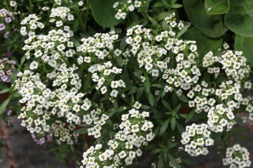 маленькие белые цветы