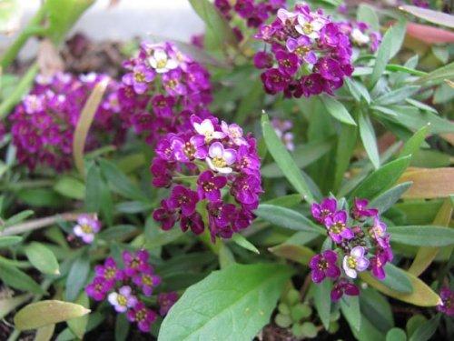 фиолетовые цветки алиссума