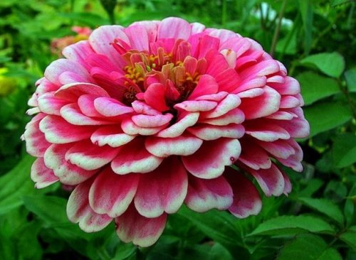 цветок цинии розового цвета