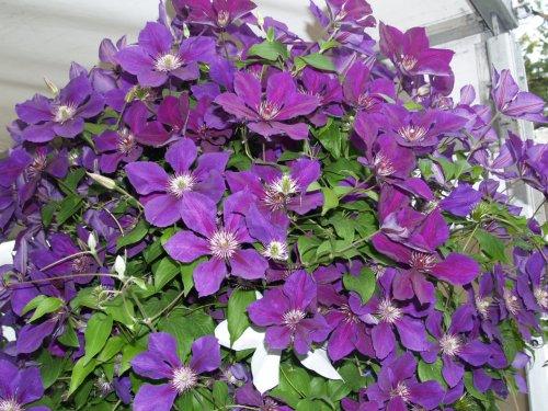сиреневые цветки клематиса