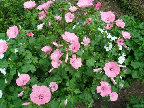 розовые цветки лаватеры