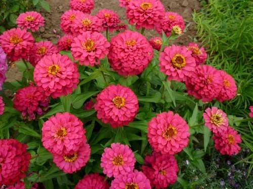 цветки цинии