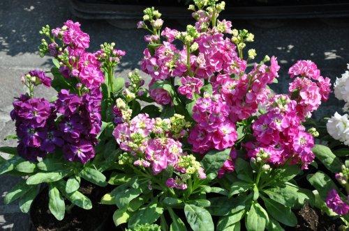 цветы маттиола в горшках