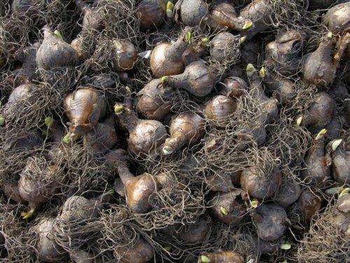 луковицы с корнями