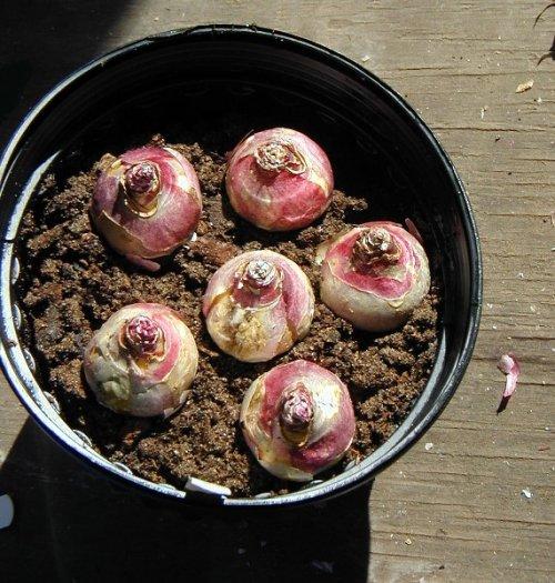 высаженные цветочные луковицы