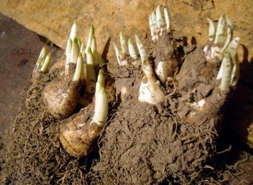 извлечённые из земли луковицы