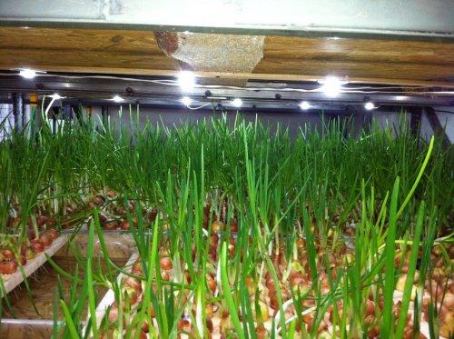 выращивание на гидропонике лука для пера