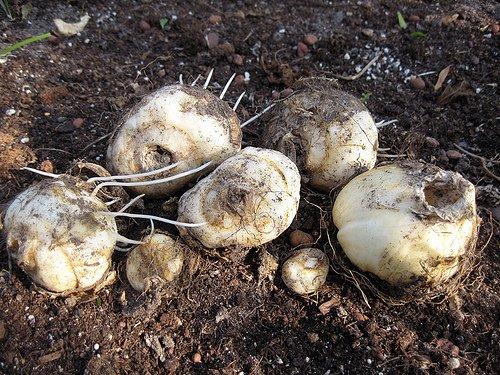 крупные луковицы перед посадкой