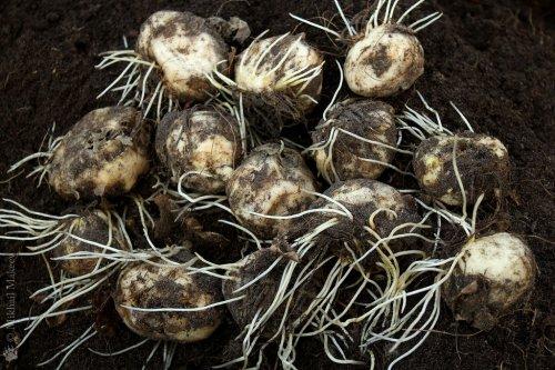 выкопанные луковицы рябчиков