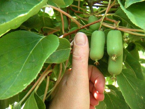 продолговатые зеленые ягоды