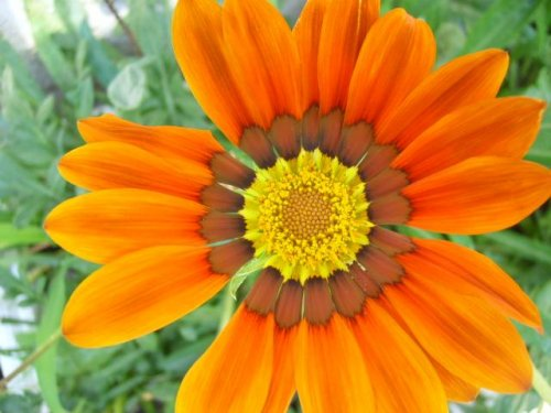 ярко-оранжевый цветок