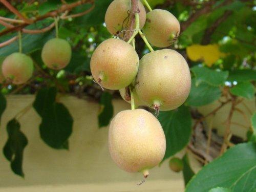женские плоды актинидии