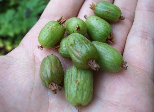 маленькие зеленые плоды